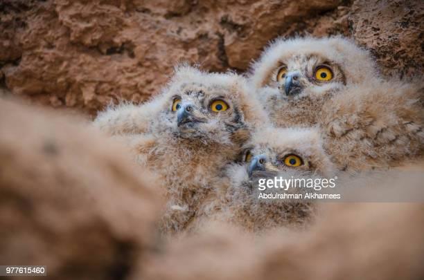 Eagle owl (Bubo bubo) nestlings
