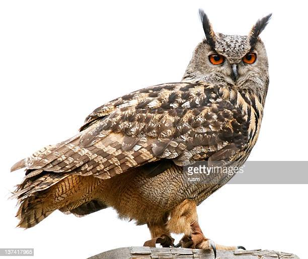 Eagle owl on white background