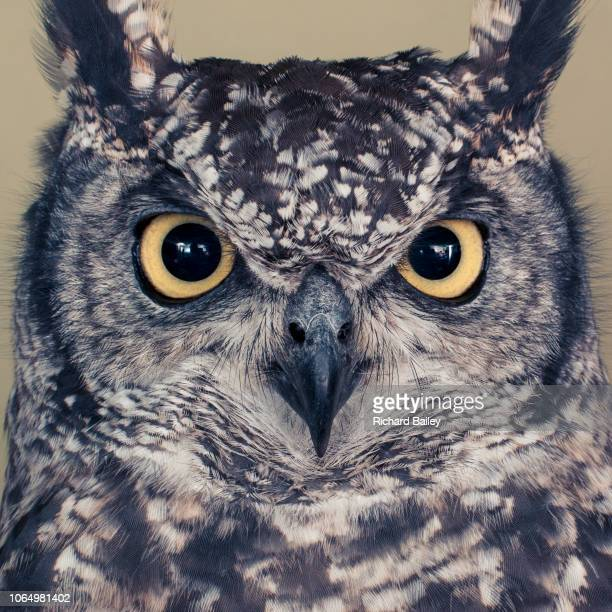 eagle owl - eagles london stock pictures, royalty-free photos & images
