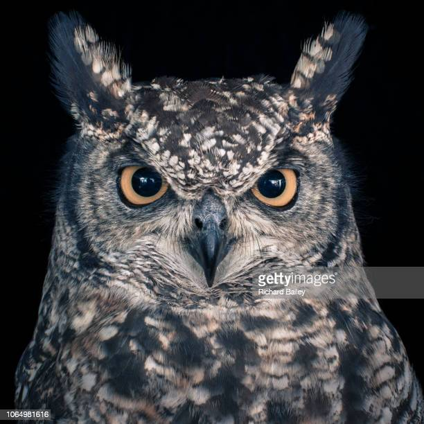eagle owl - image stock pictures, royalty-free photos & images