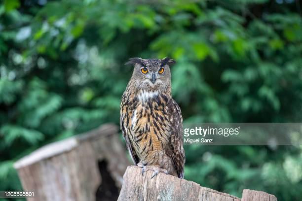 eagle owl - eurasian eagle owl stock pictures, royalty-free photos & images