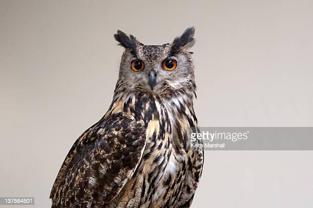 eagle owl - gufo reale foto e immagini stock