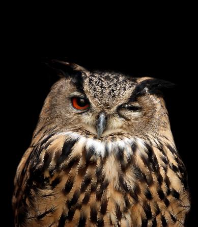 eagle owl 172313928