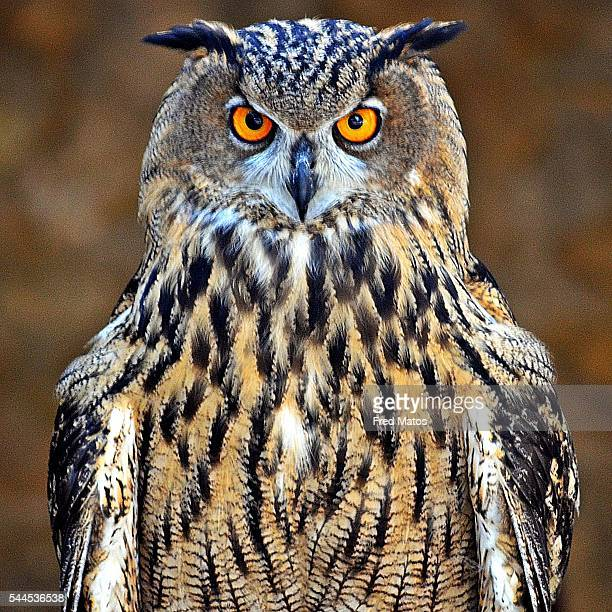 eagle owl - hibou grand duc photos et images de collection