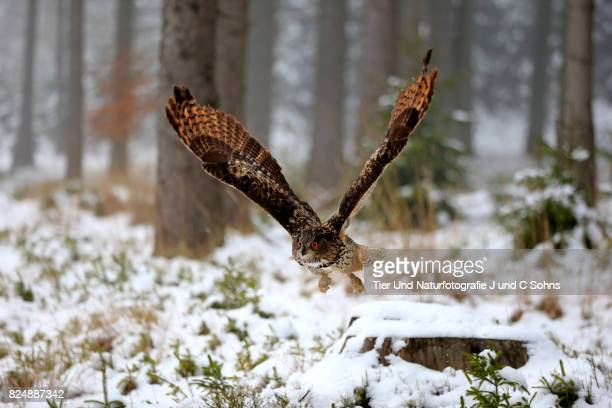 eagle owl, (bubo bubo) - czech hunters stock-fotos und bilder