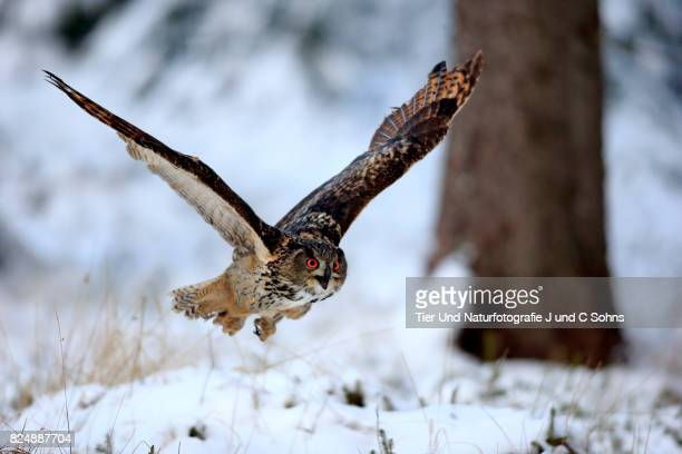 eagle owl, (bubo bubo) - czech hunters stock photos and pictures