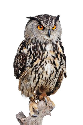 Eagle Owl 92259873