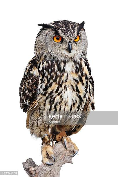 eagle owl - owl stock pictures, royalty-free photos & images