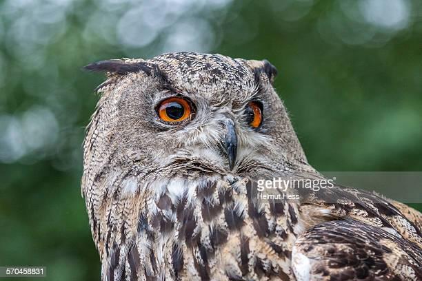 eagle owl portrait - eurasian eagle owl stock pictures, royalty-free photos & images