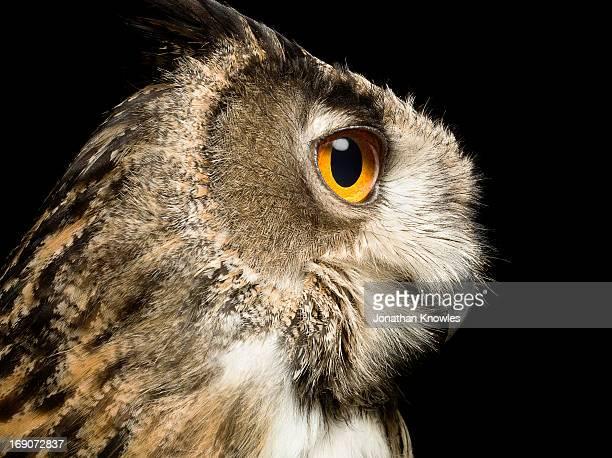 Eagle Owl, profile