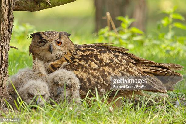 Eagle Owl With Owlets On Grassy Field