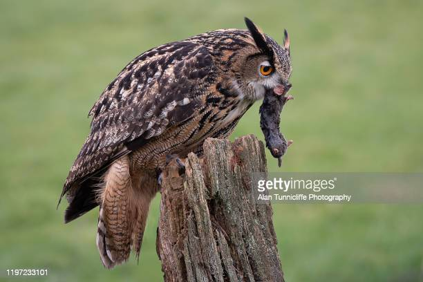 eagle owl with prey - gufo reale foto e immagini stock