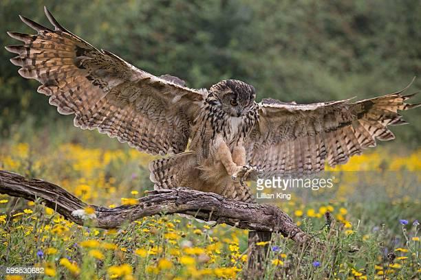 eagle owls in flight - gufo reale foto e immagini stock