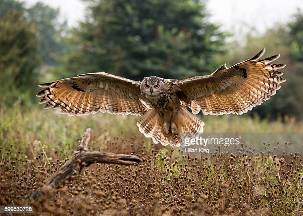 Eagle Owls in flight