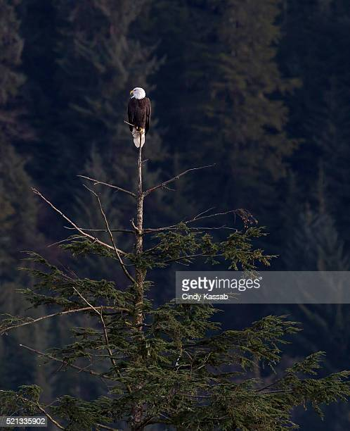 Eagle perched in a tree top
