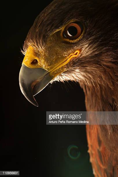 eagle photography in the studio. - hawk bird stock photos and pictures