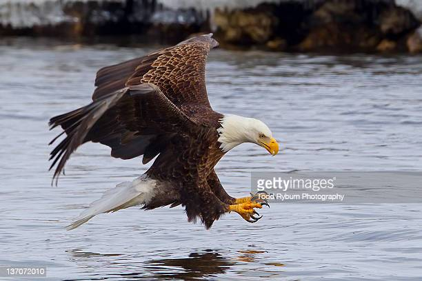 eagle - birds_of_prey stock pictures, royalty-free photos & images