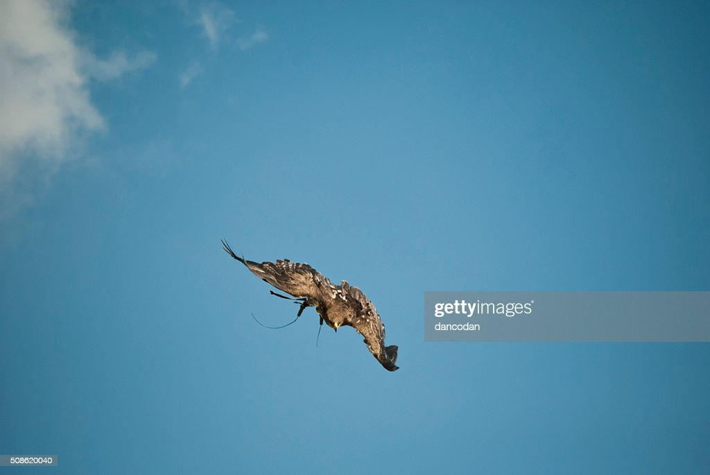 aguila : Stock Photo