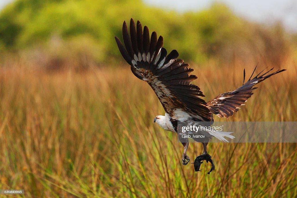 Eagle : Stock Photo