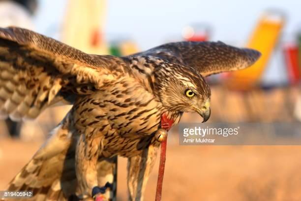 eagle - amir mukhtar imagens e fotografias de stock