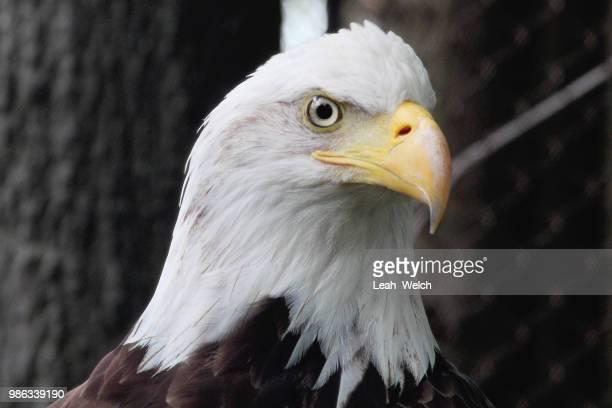 eagle - leah wilde stock-fotos und bilder