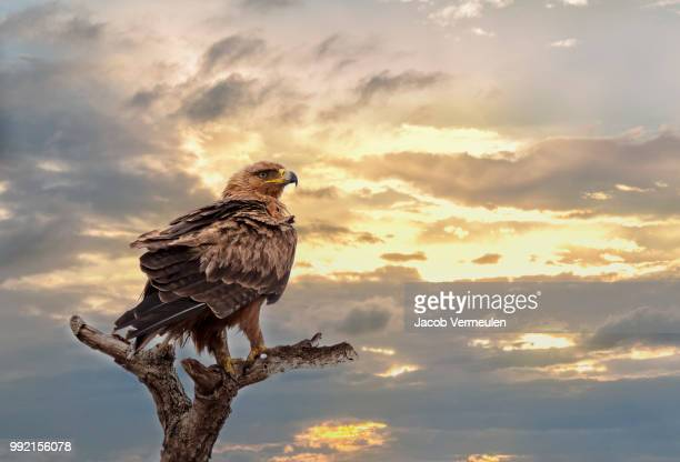 eagle - aigle royal photos et images de collection