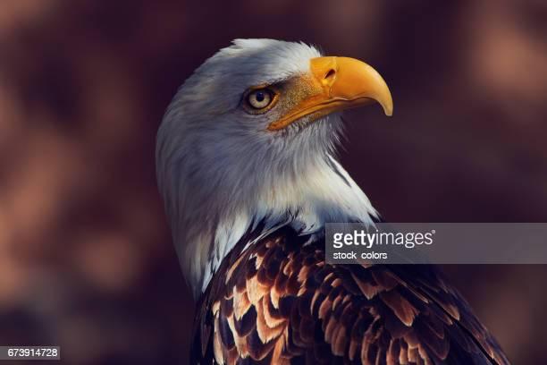 Retrato de águila mirando lejos