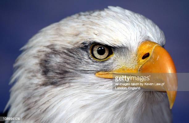eagle portrait.. - eagles london stock pictures, royalty-free photos & images