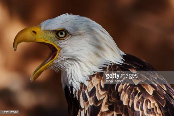 eagle portrait with mouth open