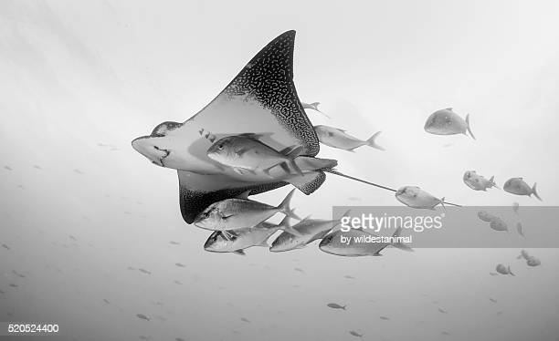 Eagle Ray And Jacks