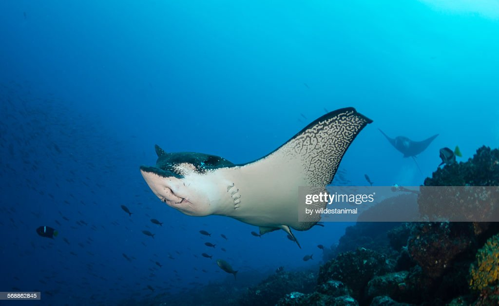 Eagle ray over the reef : Stock Photo