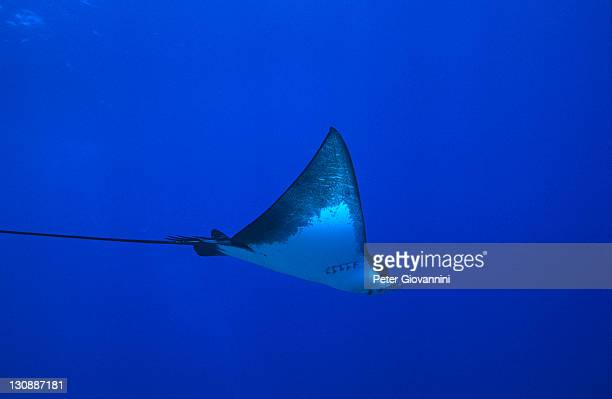 eagle ray (myliobatitae) - vista lateral stock pictures, royalty-free photos & images