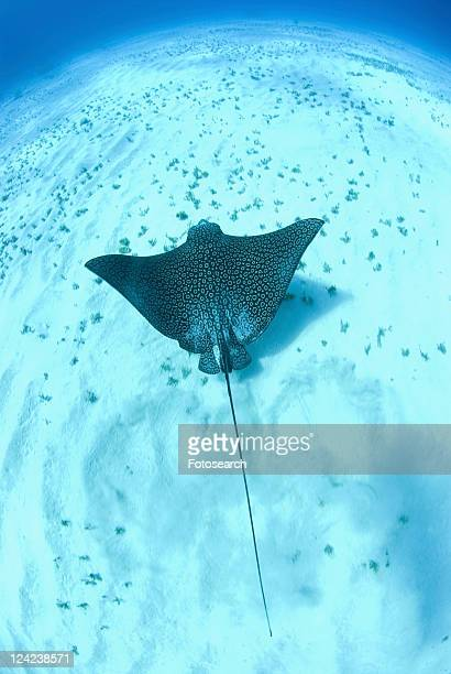 eagle ray (aetobatus narinari), swimming over candy seabed, little cayman island, cayman islands, caribbean - ray fish stock photos and pictures