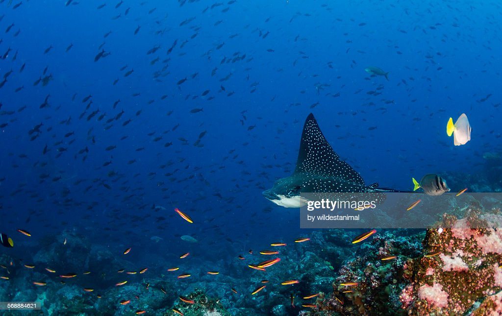 Eagle Ray With Reef Fish : Stock Photo