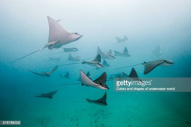 eagle rays - school of fish stock pictures, royalty-free photos & images