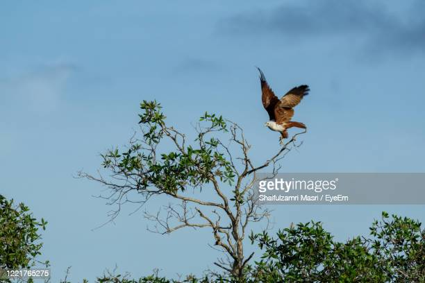 eagle with large wings take off from a tree against blue sky. - shaifulzamri eyeem stock pictures, royalty-free photos & images