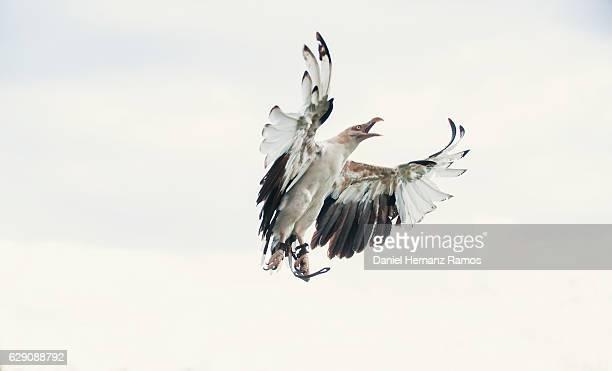 Eagle with open beak in flight. Falconry