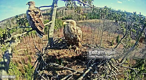 Eagles In Nest On Tree At Forest