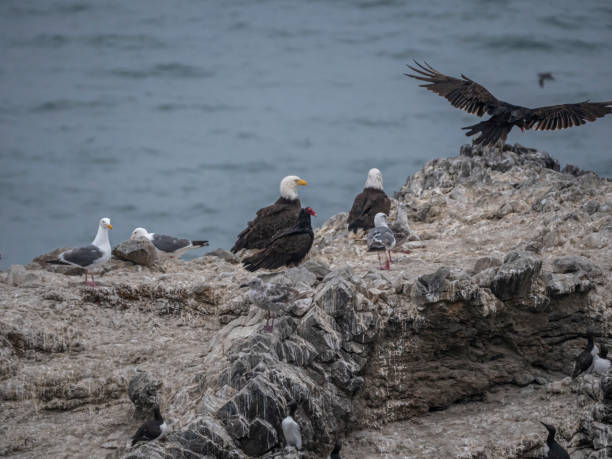 Eagles Seagulls Vultures and Common Murres Share a Rock