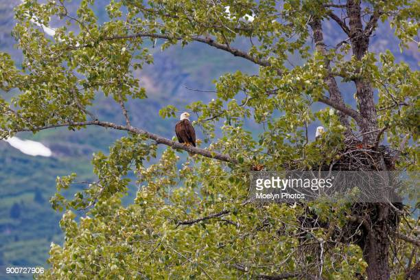 Eagles With Nest