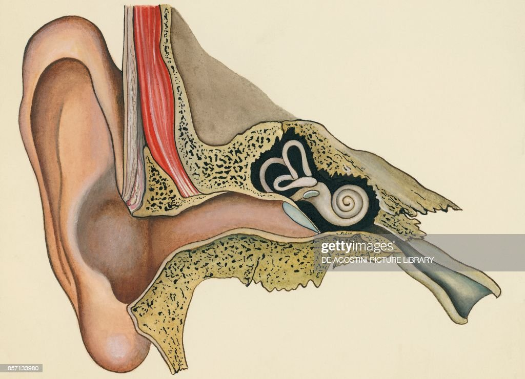 Ear and ear canal, section, human body, drawing : News Photo