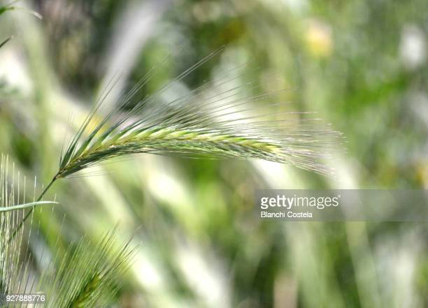 Ear of green wheat on green background