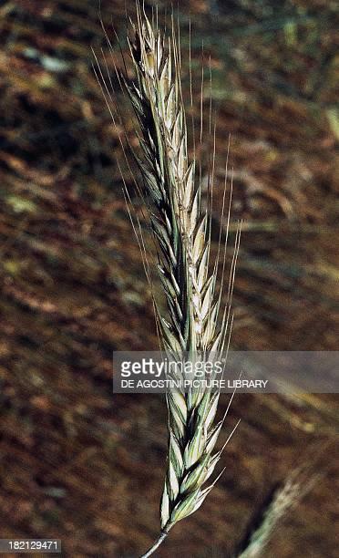 Ear of Rye , Poaceae.