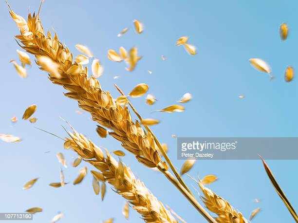 ear of wheat blowing in the wind - wheat stock pictures, royalty-free photos & images