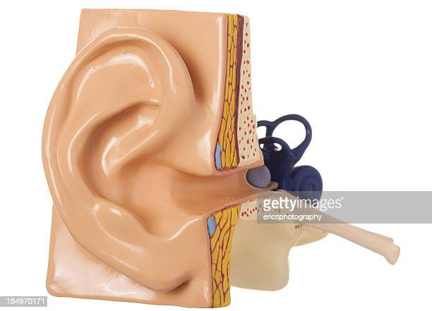 ear - anatomical model stock pictures, royalty-free photos & images