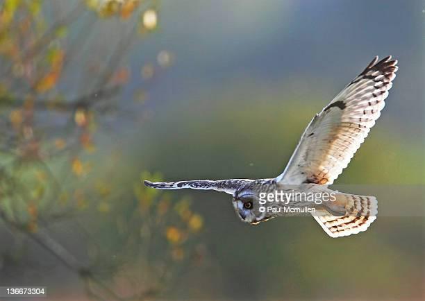 Eared owl hunting