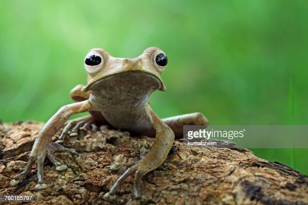 Eared tree frog, Indonesia