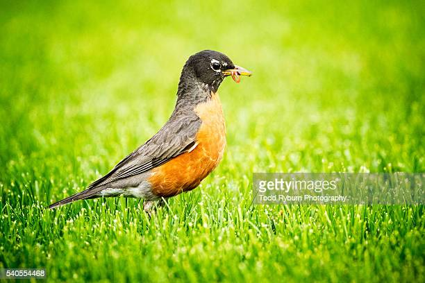 early bird - american robin stock pictures, royalty-free photos & images