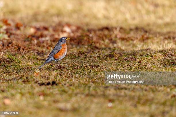 Early Bird Robin