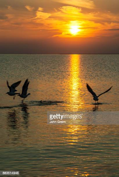 Early bird seagulls diving for food at sunrise